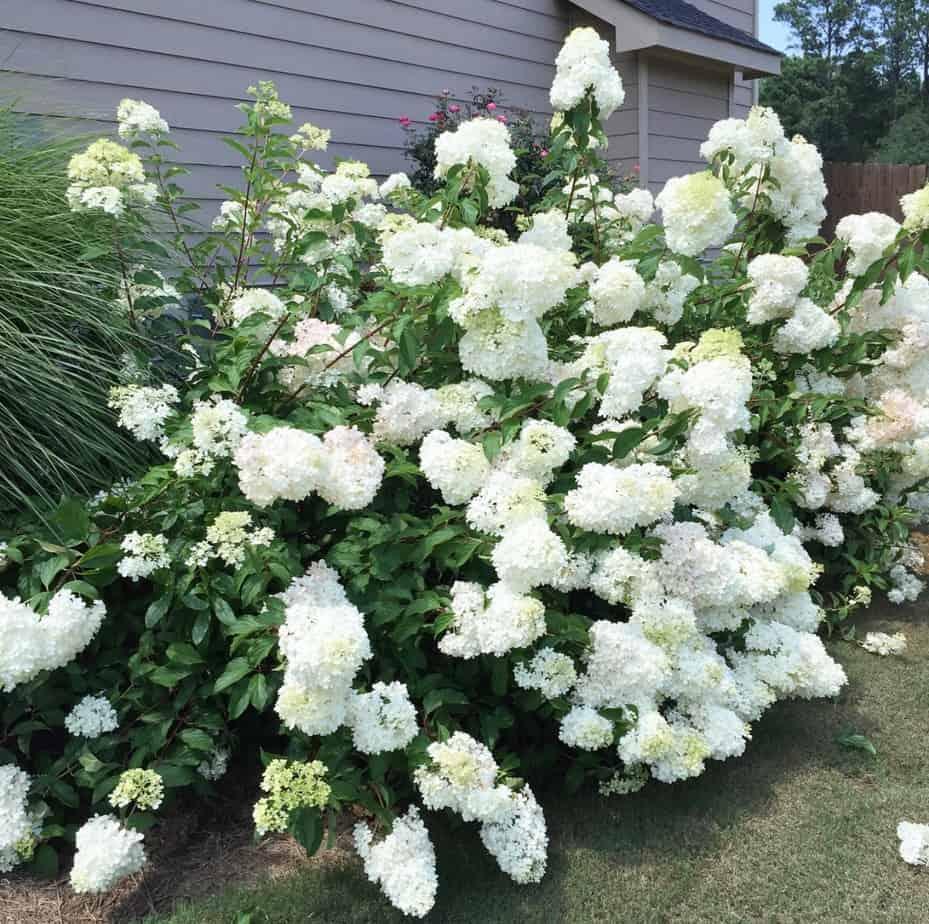 best plants that grow in shade hydrangea