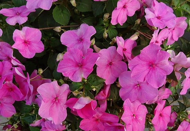 Flowers that bloom for months - impatiens