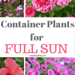 8 Sun Loving Plants for Containers