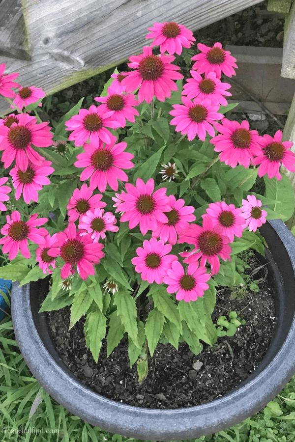 Perennials - Coneflowers