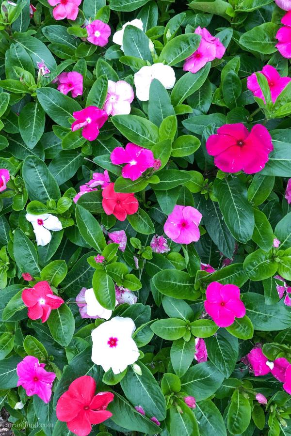 Perennials - Vinca