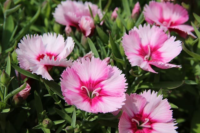 Perennial flowers - dianthus