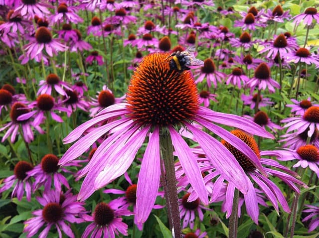 Perennial - Coneflower