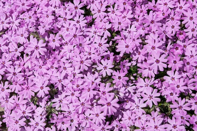 Low maintenance perennial Flowers - phlox