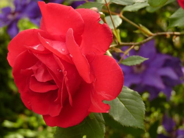 Perennial flowers - roses