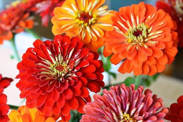 Perennial flowers - zinnias