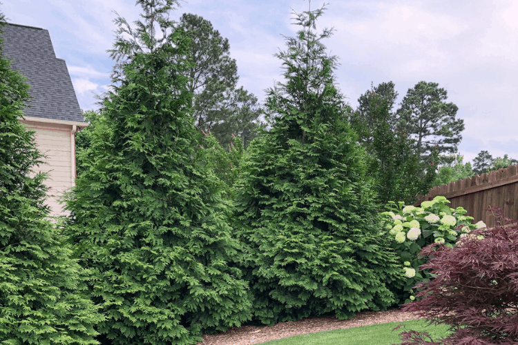 Green Giant - Evergreen Shrubs
