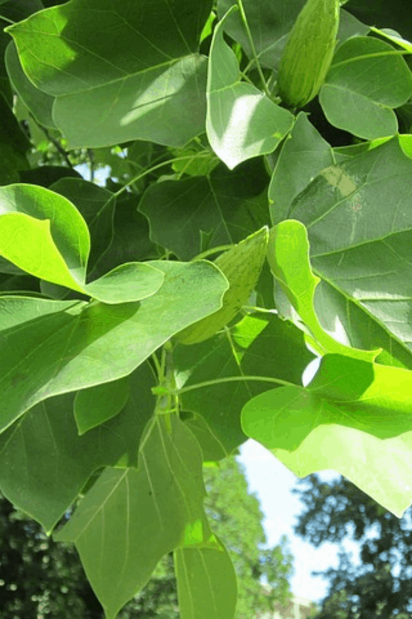 Tulip Poplar - fast growing privacy trees