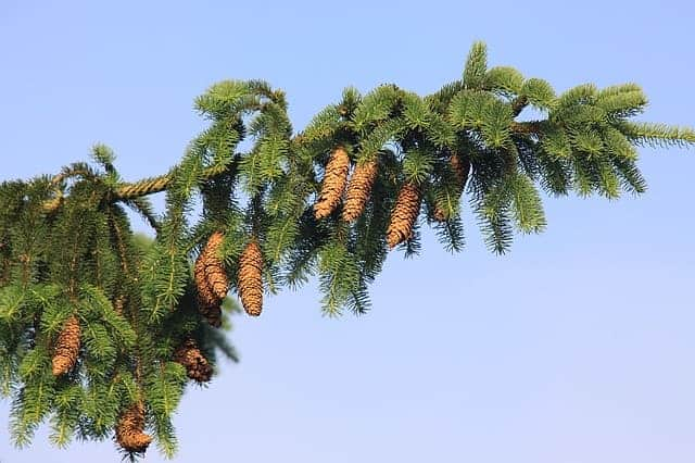 Fast growing privacy trees - norway spruce