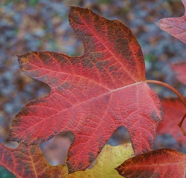 Plants for fall - oak leaf hydrangea - #createandfind #fallplants #plantsforfall #fallflowers