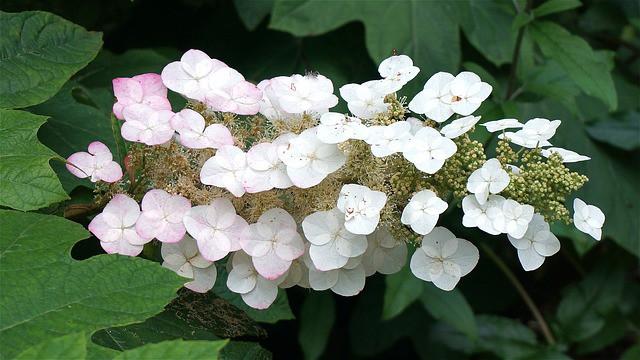 Oak Leaf Hydrangea - Plants for fall that you'll love #createandfind #plantsforfall #fallplants