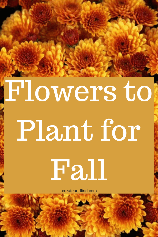What flowers you should be planting this fall for amazing color for your yard. #createandfind #fallflowers #fall #flowerstoplantinfall #gardening #flowers