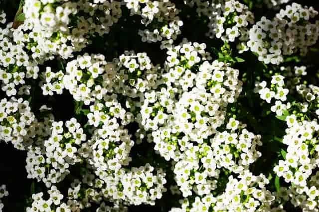 Fall flowers to plant - sweet alyssum #createandfind #fallflowers #fallplants
