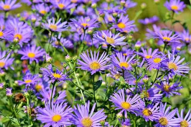 Fall flowers to plant - asters. #createandfind #fallflowers #flowersforfall #asters