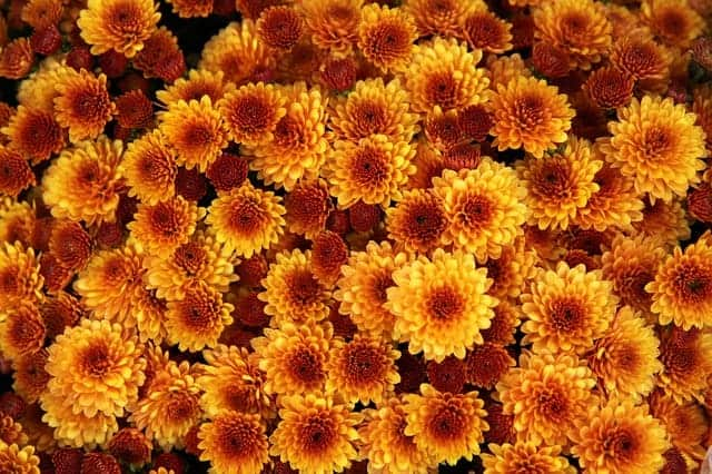 Fall flowers to plant - chrysanthemums #createandfind #fallflowers #fallflowerstoplant #mums