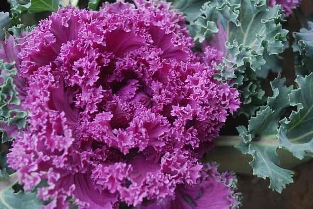 Fall flowers you should plant - ornamental kale. #createandfind #fallflowers #fallplants #ornamentalkale