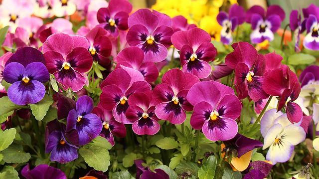 Fall flowers to plant - pansies #createandfind #pansies #fallflowers