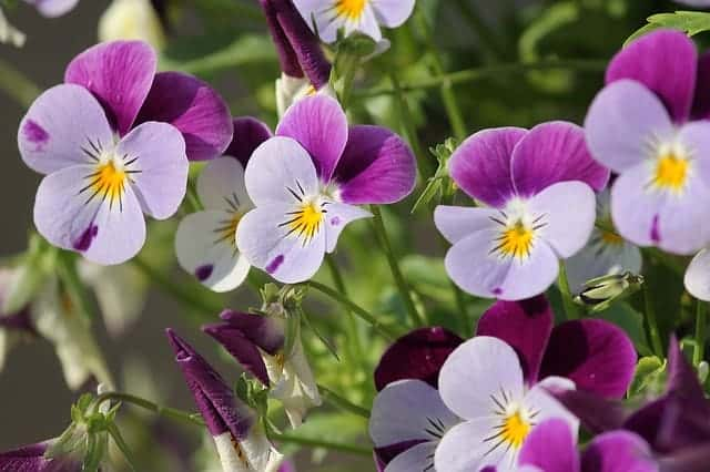 Low maintenance perennials - viola