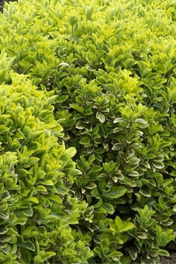 Fast Growing Evergreen Shrubs - Euonymus