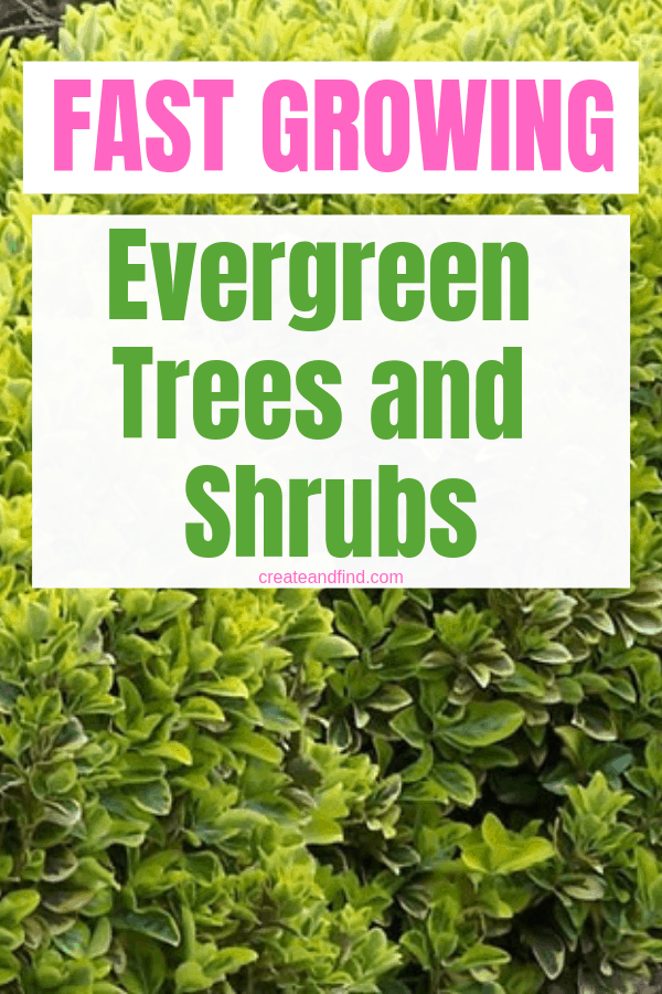 Fast Growing Evergreen Trees and Shrubs - great planting choices to give you evergreen color and privacy year round #createandfind #fastgrowingevergreens #gardening