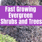 Fast growing trees and shrubs that are evergreen for year round color and privacy! #createandfind #fastgrowingtrees #fastgrowingevergreens #plants