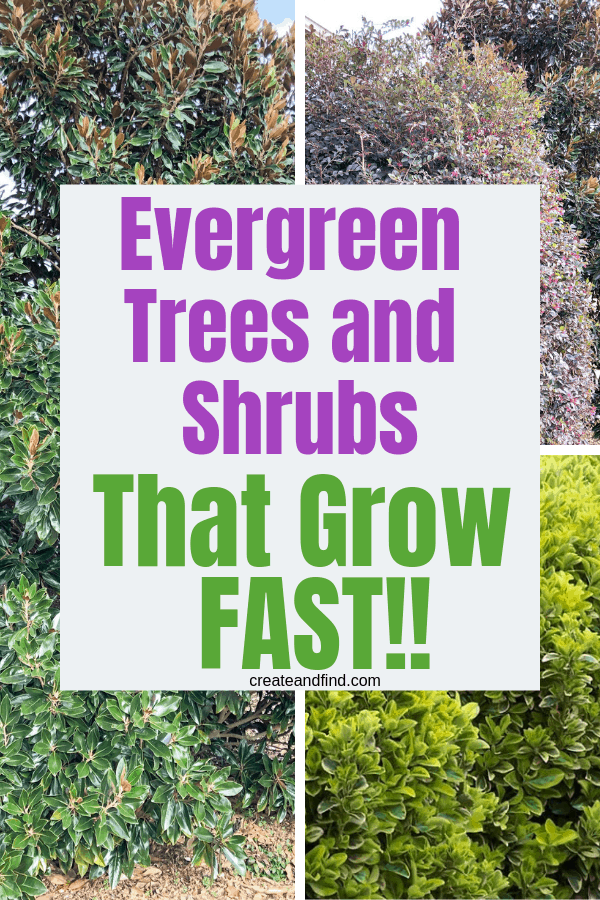 7 Varieties of evergreen trees and shrubs that grow quickly #createandfind #evergreentrees #evergreenshrubs #plants