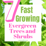 Fast growing trees and shrubs that are evergreen - year round color and privacy with these 7 choices! #createandfind #evergreenshrubs #evergreentrees