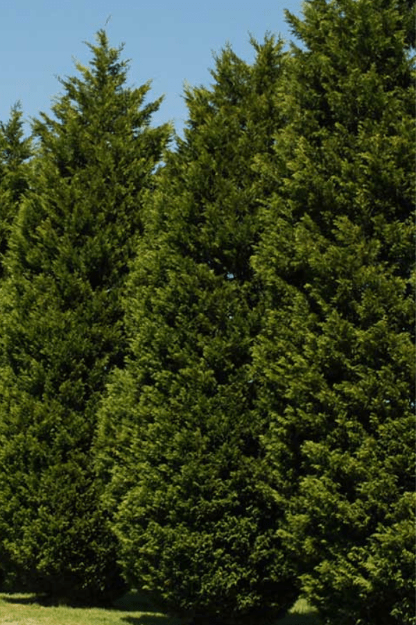 Fast Growing Trees and Shrubs - Leyland Cypress
