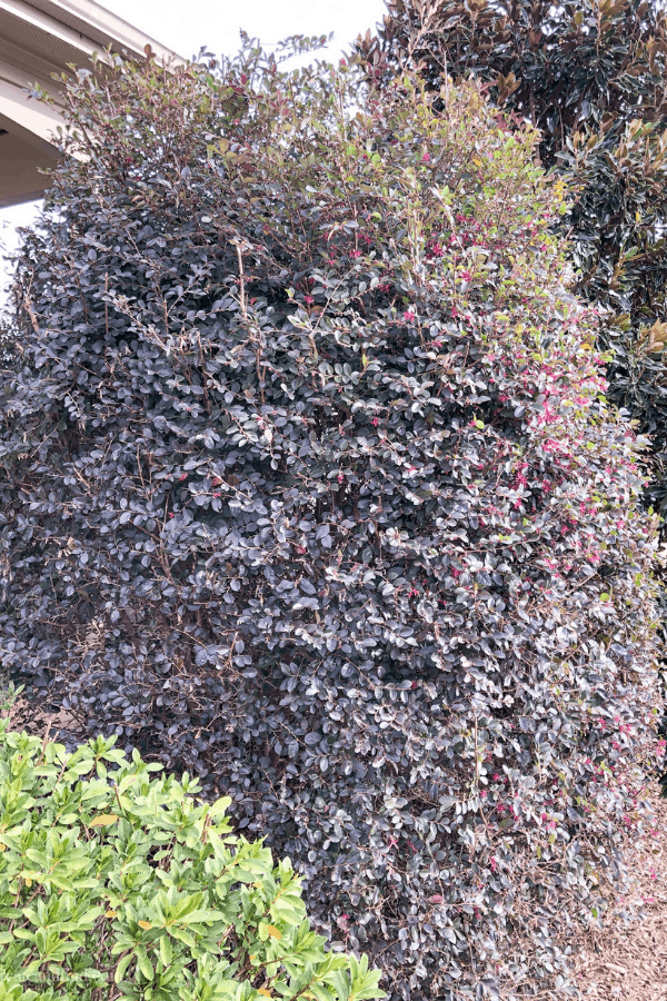 Fast Growing Evergreen Trees and Shrubs - Loropetalum