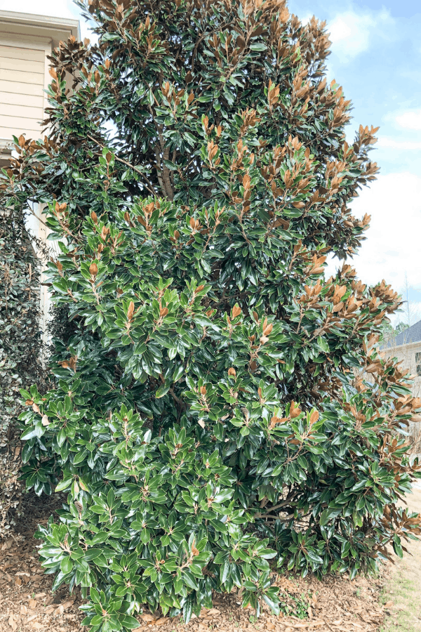 Fast Growing Evergreen Shrubs and Trees - Magnolia