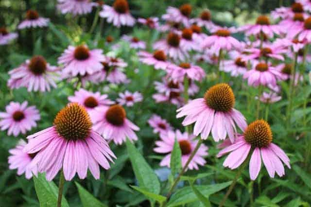 Long lasting blooms - coneflower