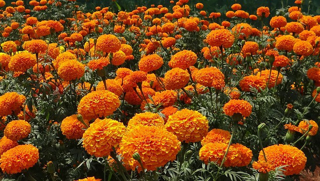 Flowers that bloom all season - marigolds