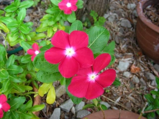Long lasting blooms - vinca