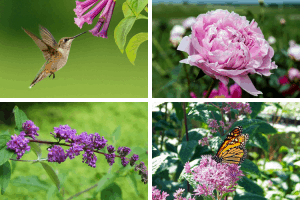 Plants for hummingbirds and butterflies