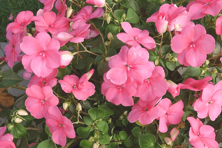 Easiest flowers to grow - impatiens