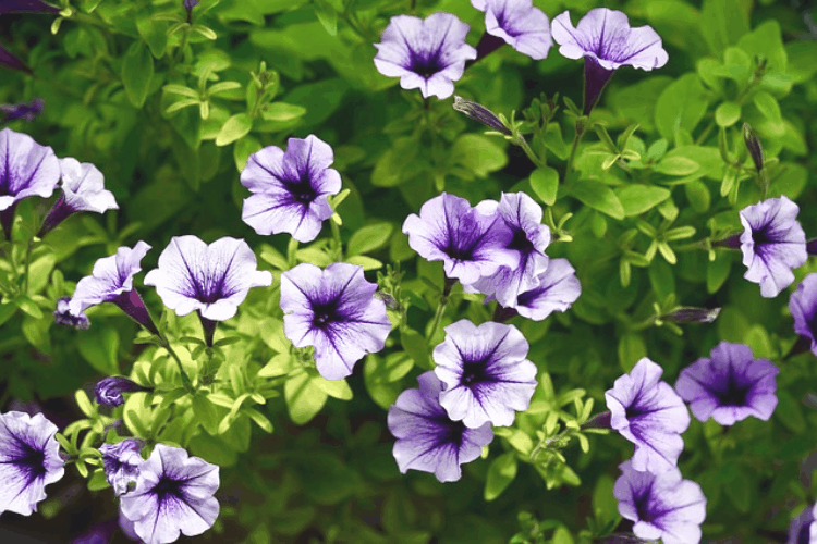 Petunias - easy flowers to grow
