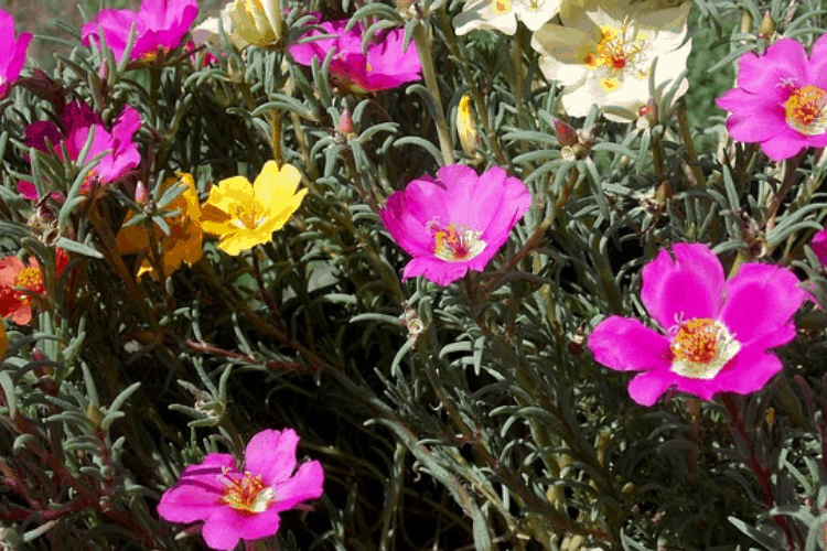 Portulaca - easy flowers to grow