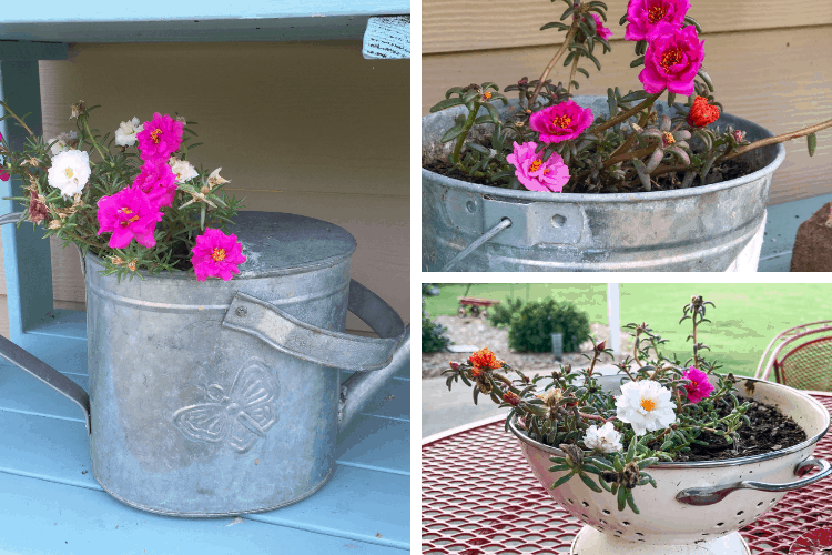 Easy flowers to grow - portulaca