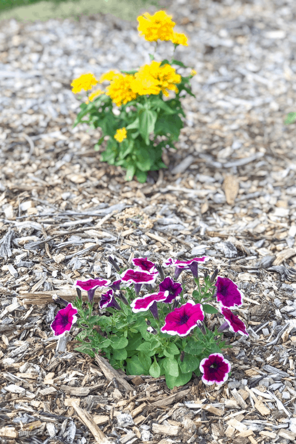 Petunias and Zinnias