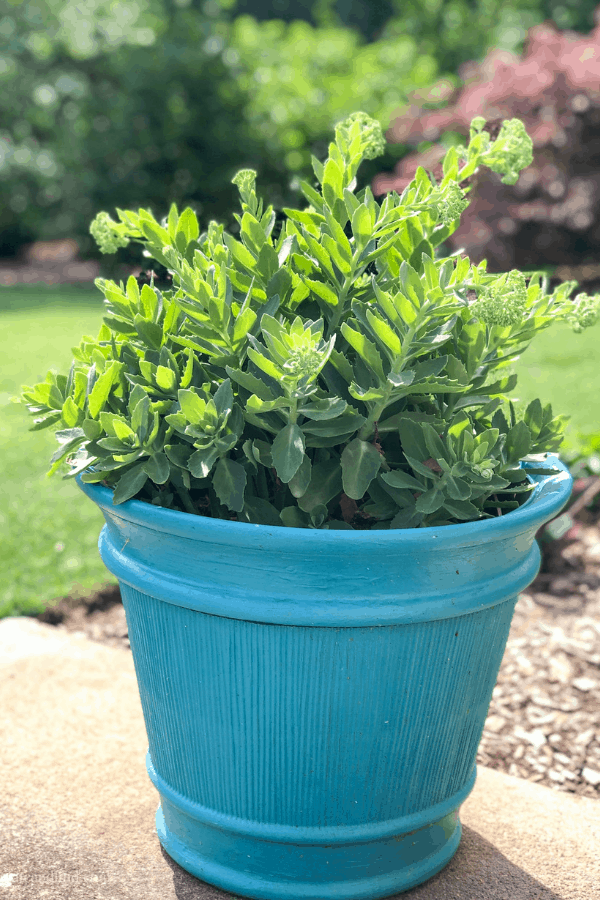 Easiest flowers to grow - succulents