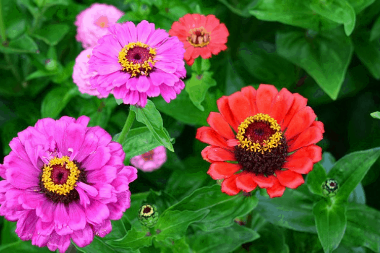 Zinnias - the easiest flowers to grow