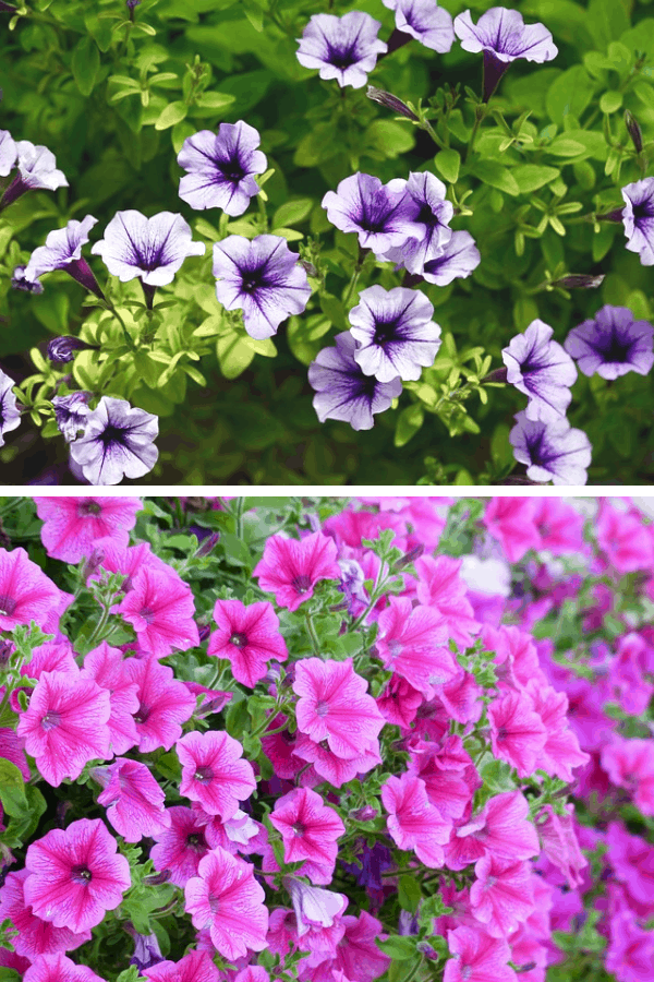 Sun loving plants - petunias