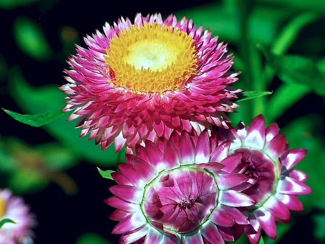 Strawflowers - sun loving flowers