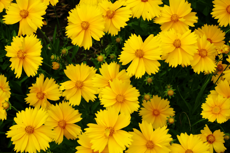 Low Maintenance Perennials - Coreopsis