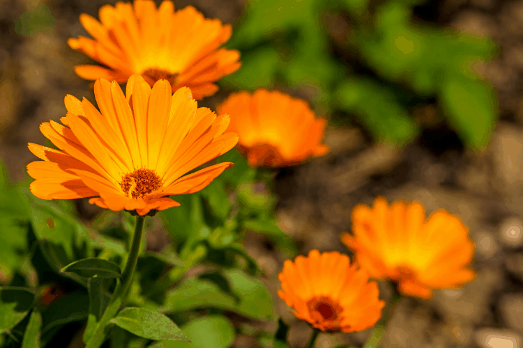 Full sun annuals - calendulas