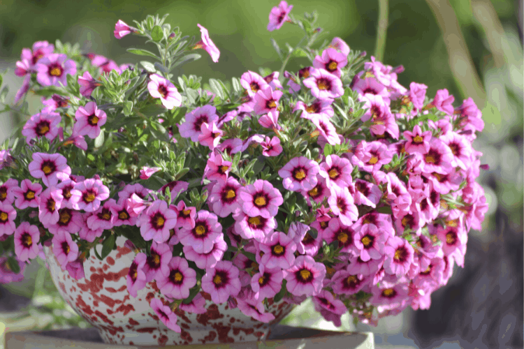 Full sun annuals - calibrachoa