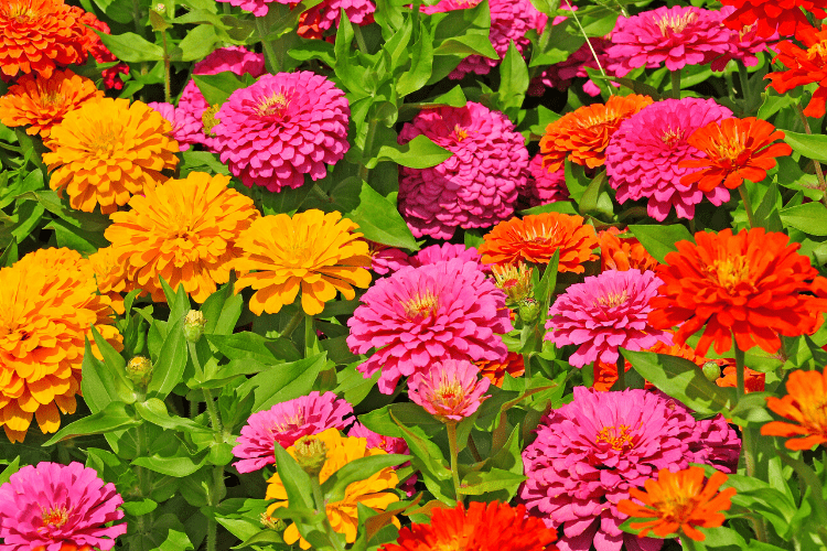 Full sun annuals - zinnias