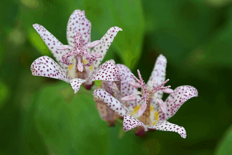 Low maintenance perennials - toad lily