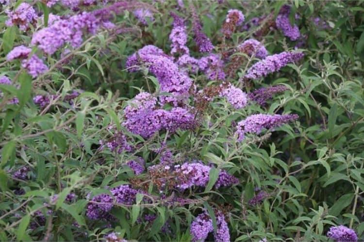 Flowering Shrubs - Butterfly Bush