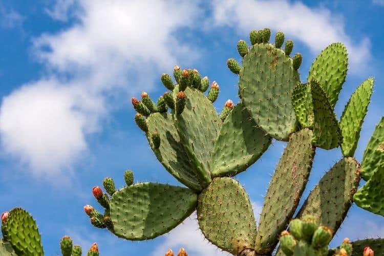 drought tolerant perennials - cactus